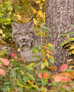 Lynx in Fall Colors