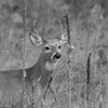 Whitetail Deer Portrait