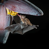 Pallas´Long-tongued Bat