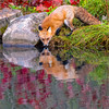 Red Fox Reflections in Autumn