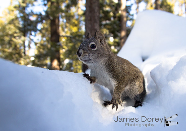 Western Gray Squirrel (Sciurus griseus)