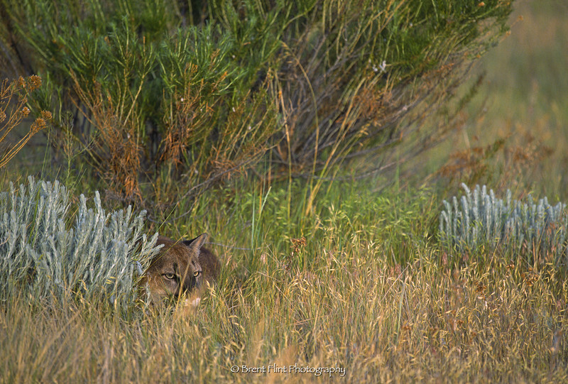 S.1578 - couger hiding in grass, (captive), Prairie Wind Wild Animal Refuge, CO.