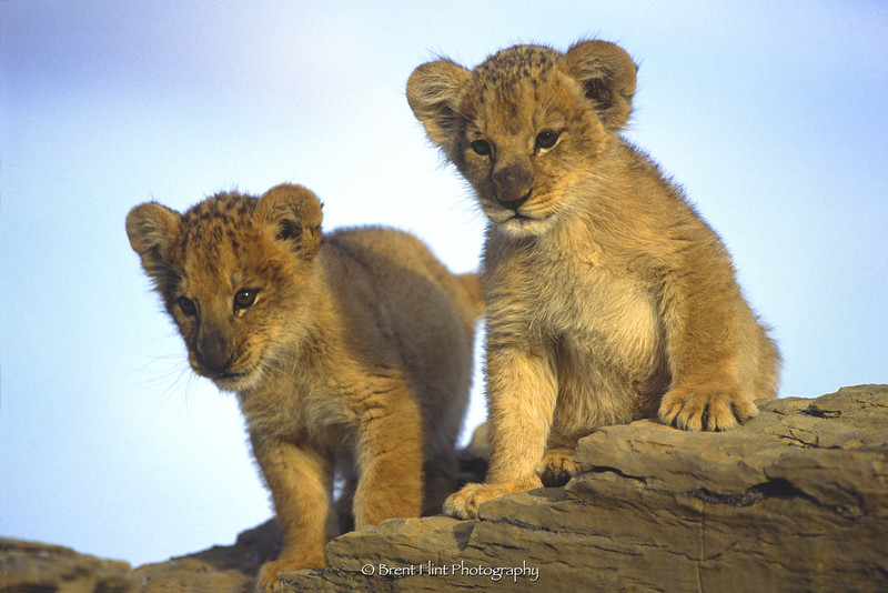 S.998 - lion cubs (captive), Prairie Wind Wild Animal Refuge, Elbert County, CO.