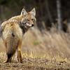 Coyote, Canis latrans, walking along a road near Westlock, Alberta, Canada.