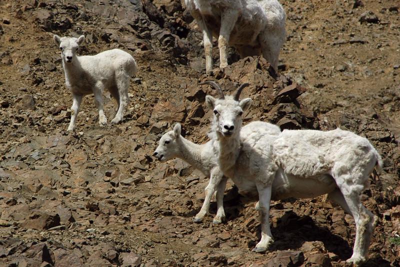 Denali Dall Sheep