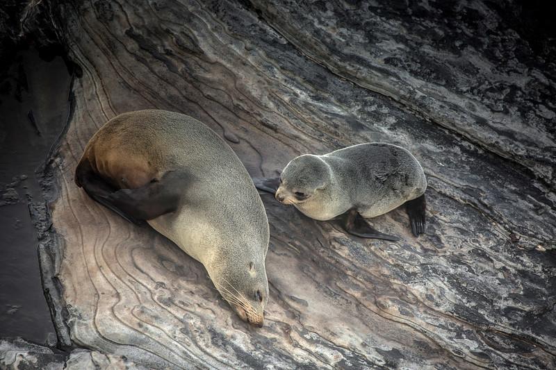Beautiful New Zealand fur seals, Cape de couedic, SA