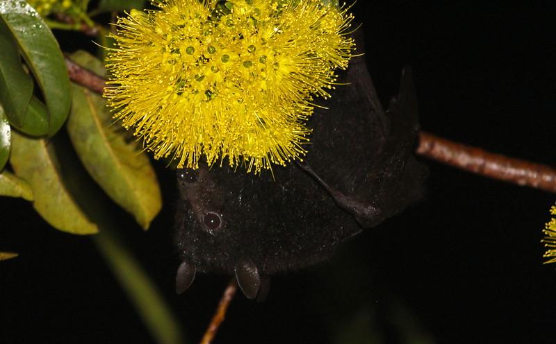 Black flying-fox, Buderim, Queensland
