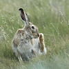 White-tailed jackrabbit, Lepus townsendii, in native prairie near Medicine Hat, Alberta, Canada.