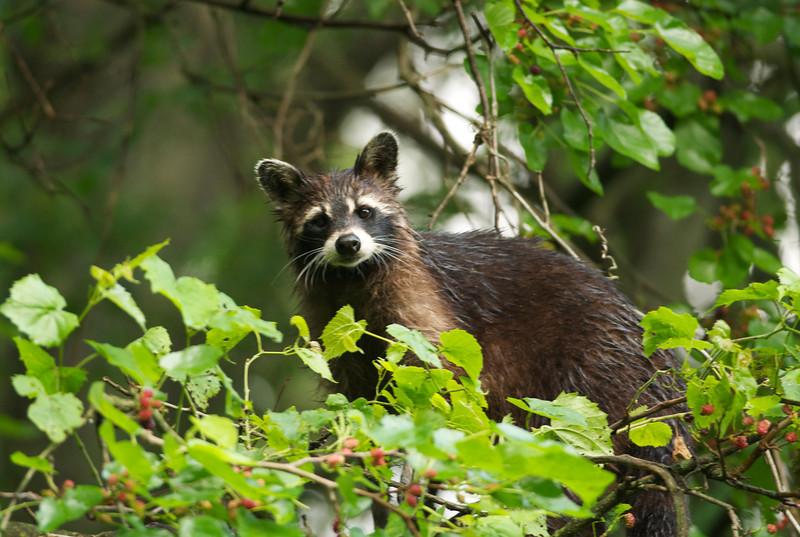 Wet Raccoon