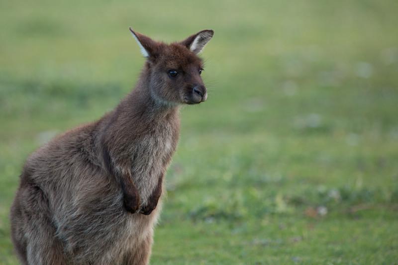 Young Kangaroo Island kangaroo, South Australia