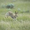 White-tailed jackrabbit, Lepus townsendii, moving through native prairie near Medicine Hat, Alberta, Canada.
