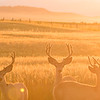 Mule deer, Odocoileus hemionus, bucks in Pincher Creek, Alberta, Canada.