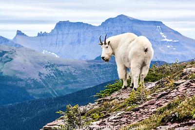 Akamina Mountain Goat