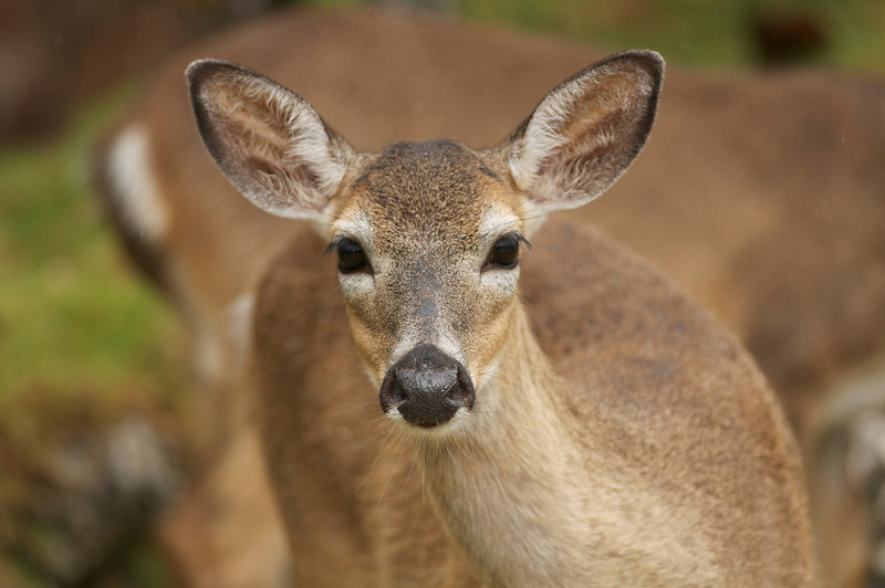 Key Deer Portrait