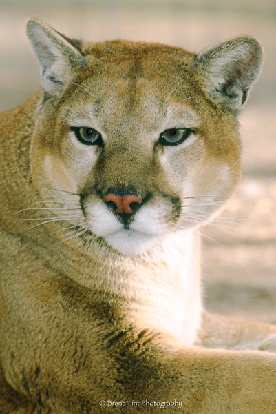 S.1106 - cougar, (captive), Prairie Wind Wild Animal Refuge, CO.