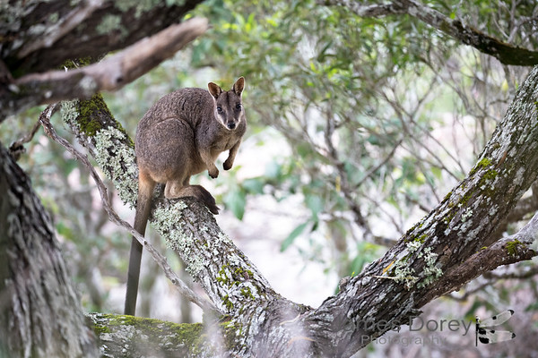Allied Rock Wallabies (Petrogale assimilis)
