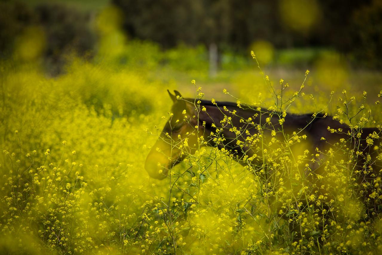 Horse in field of flowers, Yankalilla, Fleurieu Peninsula