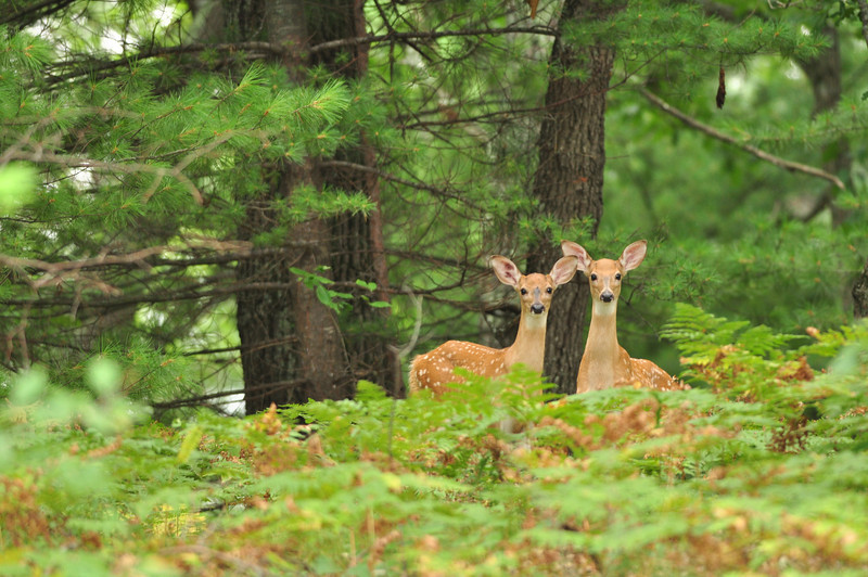 Pair of Fawns