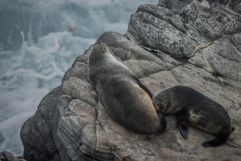 New Zealand fur seals, Cape de Couedic, SA