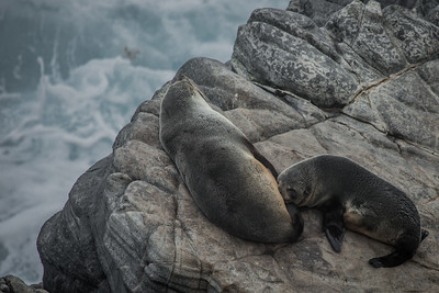 New Zealand fur seals, Cape de Couedic, SA