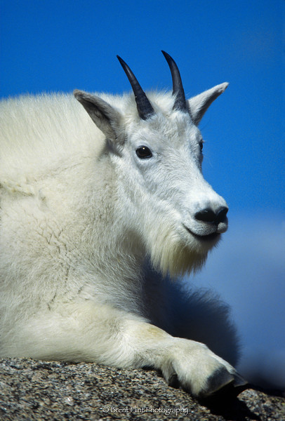 S.816 - mountain goat, Mt. Evans, CO.