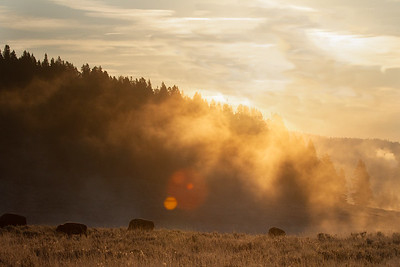 Yellowstone bison in early morning light
