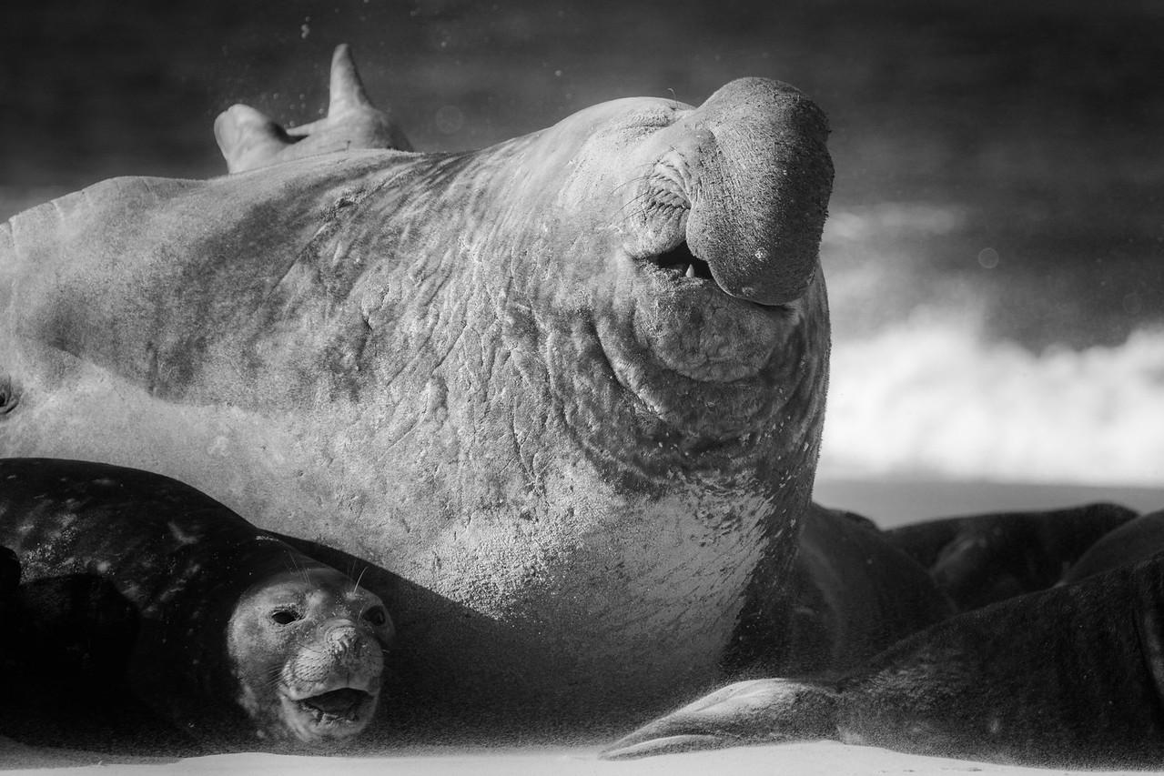 Southern elephant seal bull, Sea Lion Island