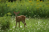 Fawn in the Field