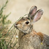 Mountain cottontail, Sylvilagus nuttallii, at Writing-on-Stone Provincial Park, Alberta, Canada.