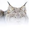 Portrait of a Canada Lynx, Lynx canadensis, near High Level, Alberta, Canada.