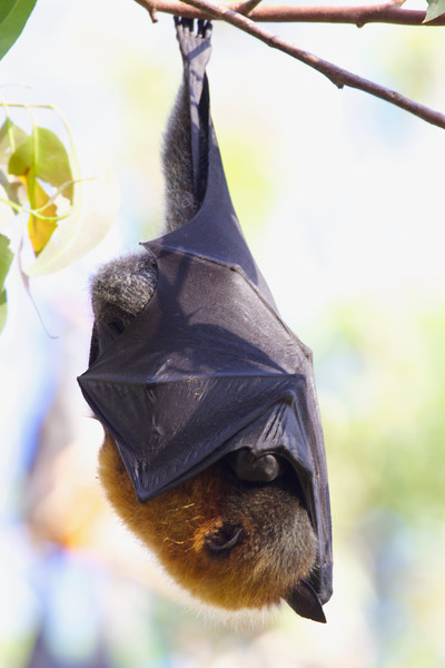 Sleeping grey-headed flying-fox, Sunshine Coast, Australia