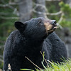 Black bear, Ursus americanus, on a roadside in Waterton Lakes National Park, Alberta, Canada.