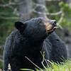Black bear, Ursus americanus, on a roadside in Waterton Lakes National Park, Alberta, Canada.