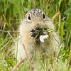 Thirteen-lined ground squirrel, Ictidomys tridecemlineatus, feeding on dandelions in Lundbreck Falls Provincial Park, Alberta, Canada.