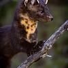 Juvenile American pine marten, Martes americana, in Beauvais Lake Provincial Park, Alberta, Canada.