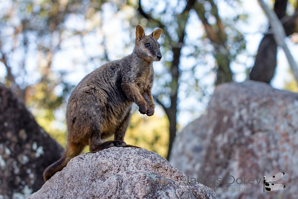 brush-tailed rock wallaby (Petrogale penicillata)