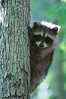 Small Raccoon Up a Tree