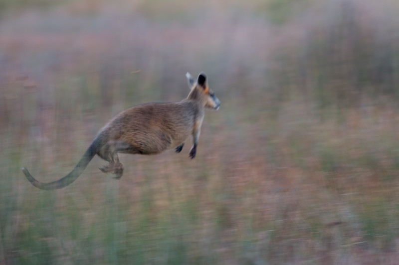 Swamp wallaby, Bokarina, Australia