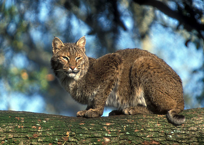 Bobcat, Lynx rufus, on live oak