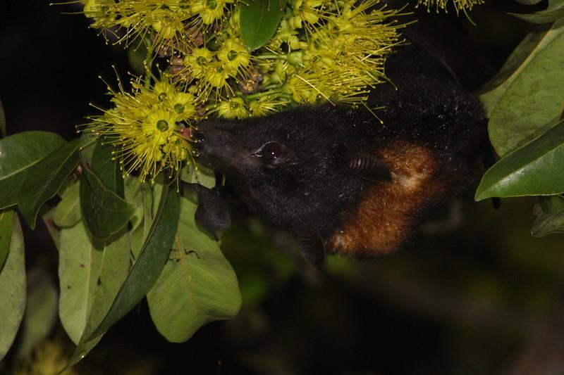 Black flying-fox, Australia