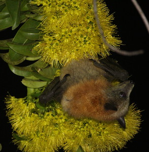 Grey-headed flying-fox, Australia