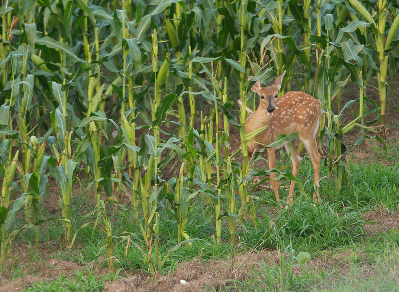 Fawn in the Corn