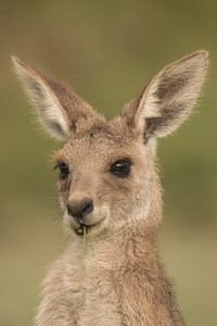 Young Eastern Grey Kangaroo, Sunshine Coast