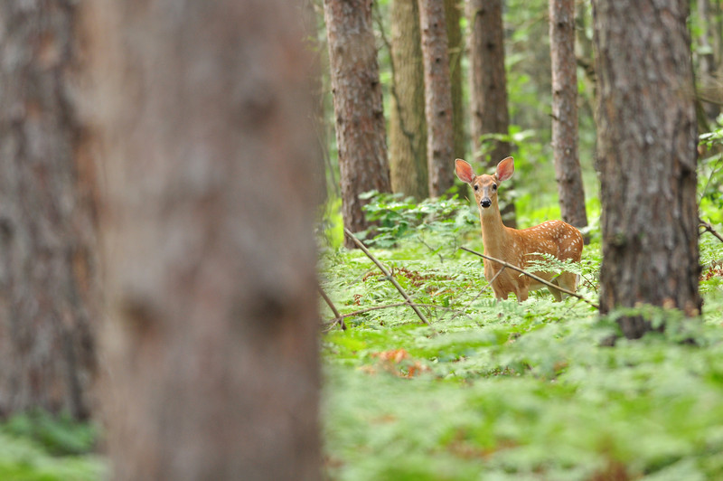 Fawn in the Pines
