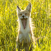 Red fox, Vulpes vulpes, yawning near Pincher Creek, Alberta, Canada.