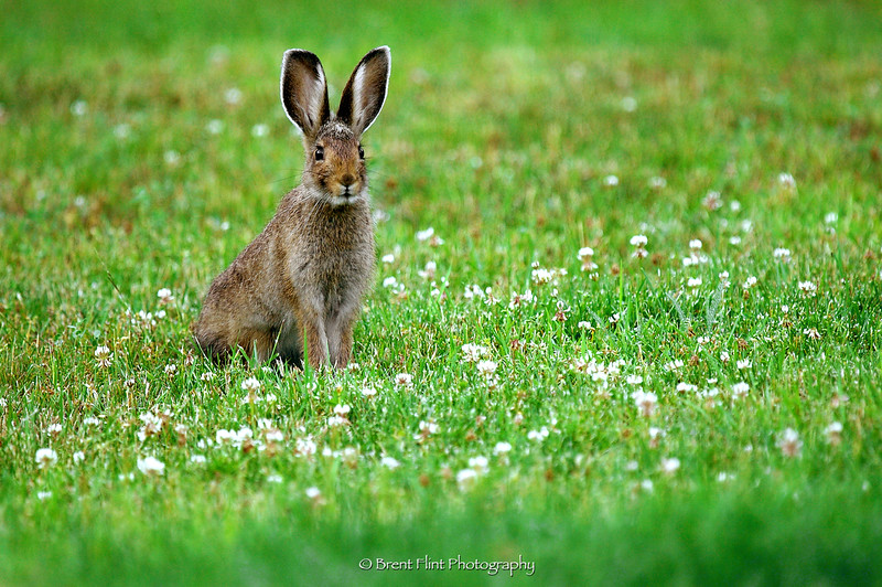 DF.301 - snowshoe hare in clover, Bonner County, ID.