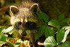 Raccoon in the Underbrush