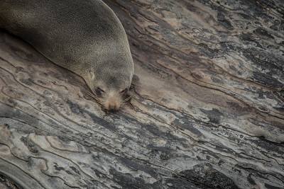 New Zealand fur seal, Cape de Couedic