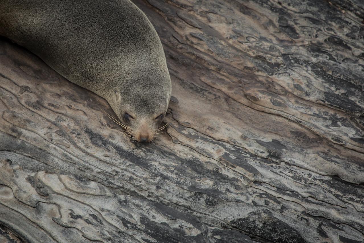 New Zealand fur seal, Cape de Couedic