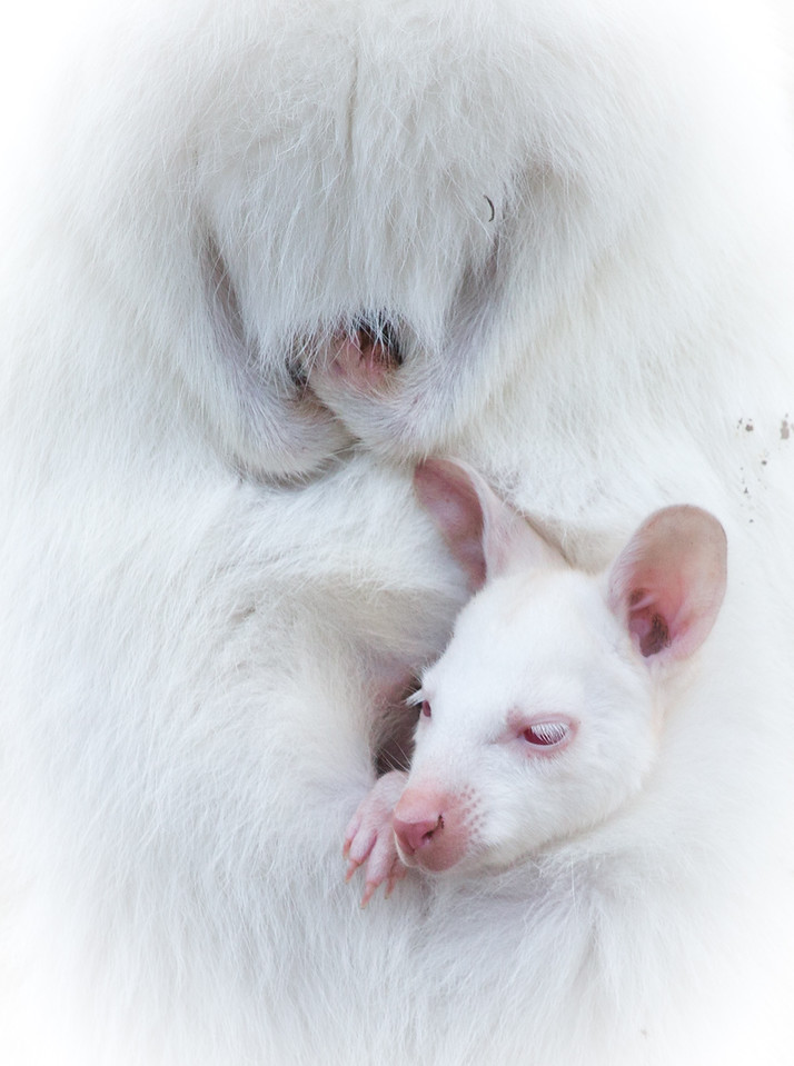 Albino tammar wallaby with joey, South Australia